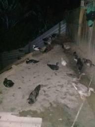 Vende se galinhas e patos