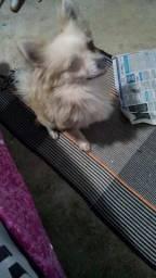 Chihuahua macho 1ano meio perdigree