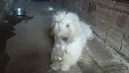 Cachorro poodle doação