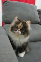 Filhote Fêmea Gato Persa Disponível