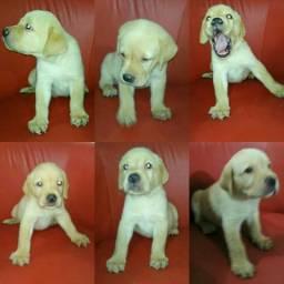 Lindos Filhotes de Labrador - Puro