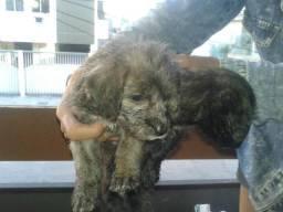 Vendo cachorro poodle mistura com poodle pequeno