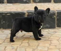 Excelente filhote macho de Bulldog Francês com pedigree disponível!