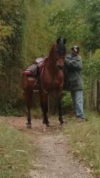 Cavalo Árabe
