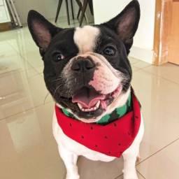 Bulldog francês macho procura namorada