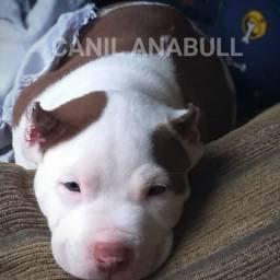 P.R.O.D.U.Ç.Ã.O Do Canil AnaBull Filhotes Extremados Cabeça de Touro Em ATÉ 12X - Pitbull