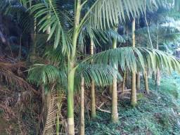Vendo Palmeira Real com 6 anos