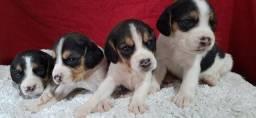 Lindos filhotes de Beagle machos e fêmeas com pedigree e todas as garantias.