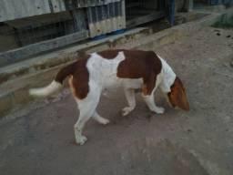 Vende-se mestiços beagle com Americano