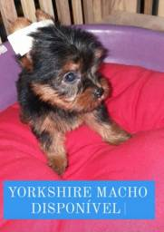 Yorkshire macho