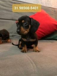Canil Filhotes Cães Para Pessoas Exigentes Basset Maltês Shihtzu Yorkshire