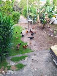 Vendo frangos gigante negro,rodilan,e mesticos
