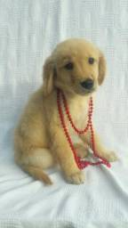 Golden retrivier Kennil Raquel Vargas