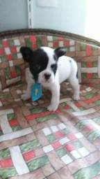 Bulldog frances macho e femea