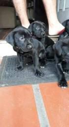 Filhotes dog Alemão