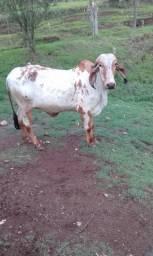 Vacas gir leiteiro