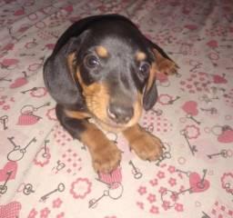 Vende-se cachorro dachshund Mine. 250,00