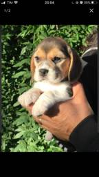 Beagle-inteligente