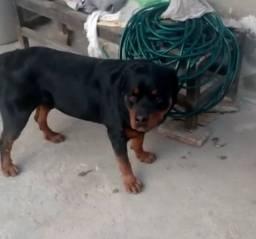 Rottweiler disponível para cruza !
