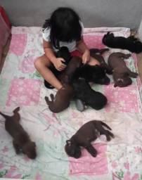 Filhotes de Labrador com Red Nose R$ 300,00 Aceito Proposta