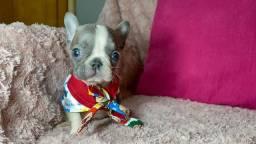 Bulldog francês machinho BEM PITOCO disponível  @canilbollisbull