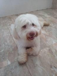 Cachorro Braço italiano