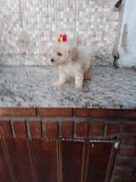 Tenho poodle micro toy