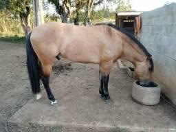 Cavalo crioulo garanha