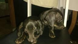 Filhotes de dachshund (salsichas)