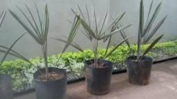 Palmeiras Bismarckia