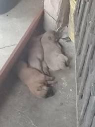 Vendo filhotes de cachorro raça Chow-chow