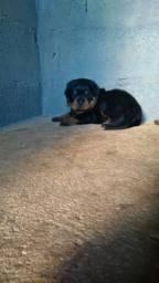 Vendo Macho Rottweiler