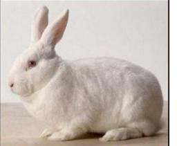 Vendo coelha da nova Zelândia lindíssima