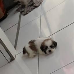 Venda cachorro shitzu