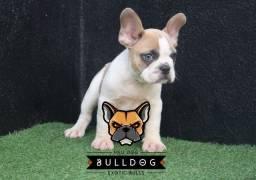 Bulldog francês Blue Fawn Pied