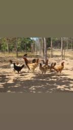 vendo galinha e ovo caipira