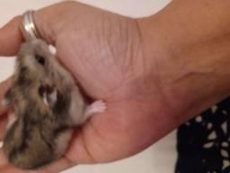 Vendo filhote de hamsters chinês