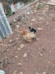 Vendo galinha galizer com dois pintinhos .