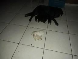 Filhote d Labrador