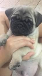 Pugs abricot com pedigree