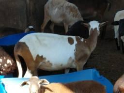 Vendo lote de Ovelhas