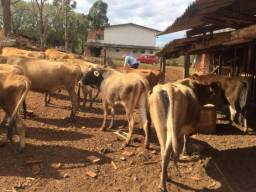Vacas jersey e jersolando
