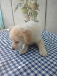 Poodle branco fofinho