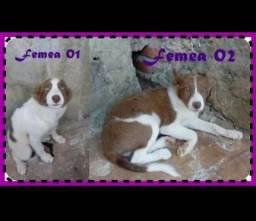 Filhotes de Border Collie Femeas Lilac