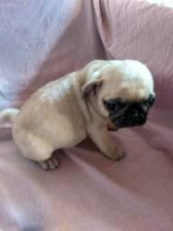 Machinho de Mini Pug