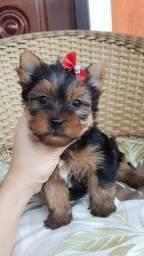 Yorkshire Terrier fêmeas vacinadas