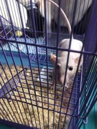 Dumbo hairless