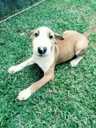Vendo uma filhote de Bull Terrier inglês, tamanho mini. promoção black friday