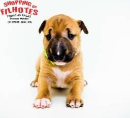 Bull Terrier Inglês * Geovane Mendes