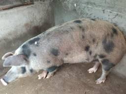 Vendo 4 porcos